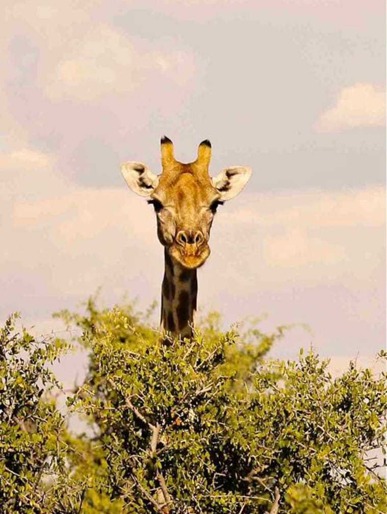 Giraffe peeking out from a tree on the Namibia Safari by Luxury Train aboard Rovos Rail's Pride of Africa journey