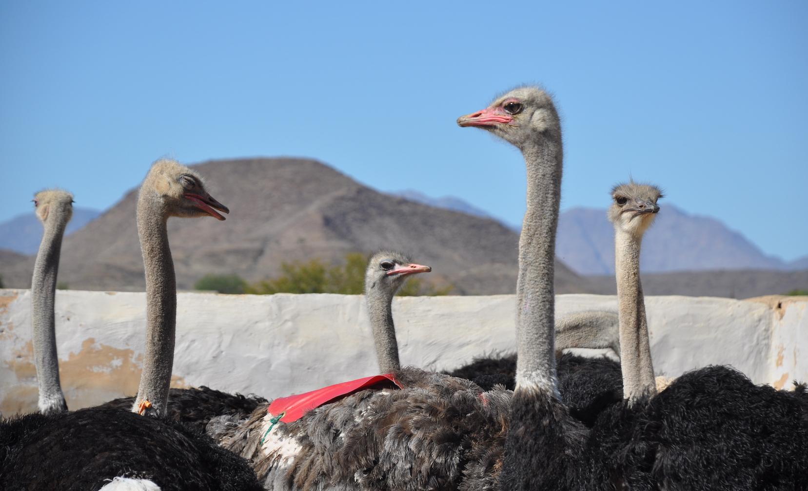Oudtshoorn ostrich farm visit on Rovos Rail.