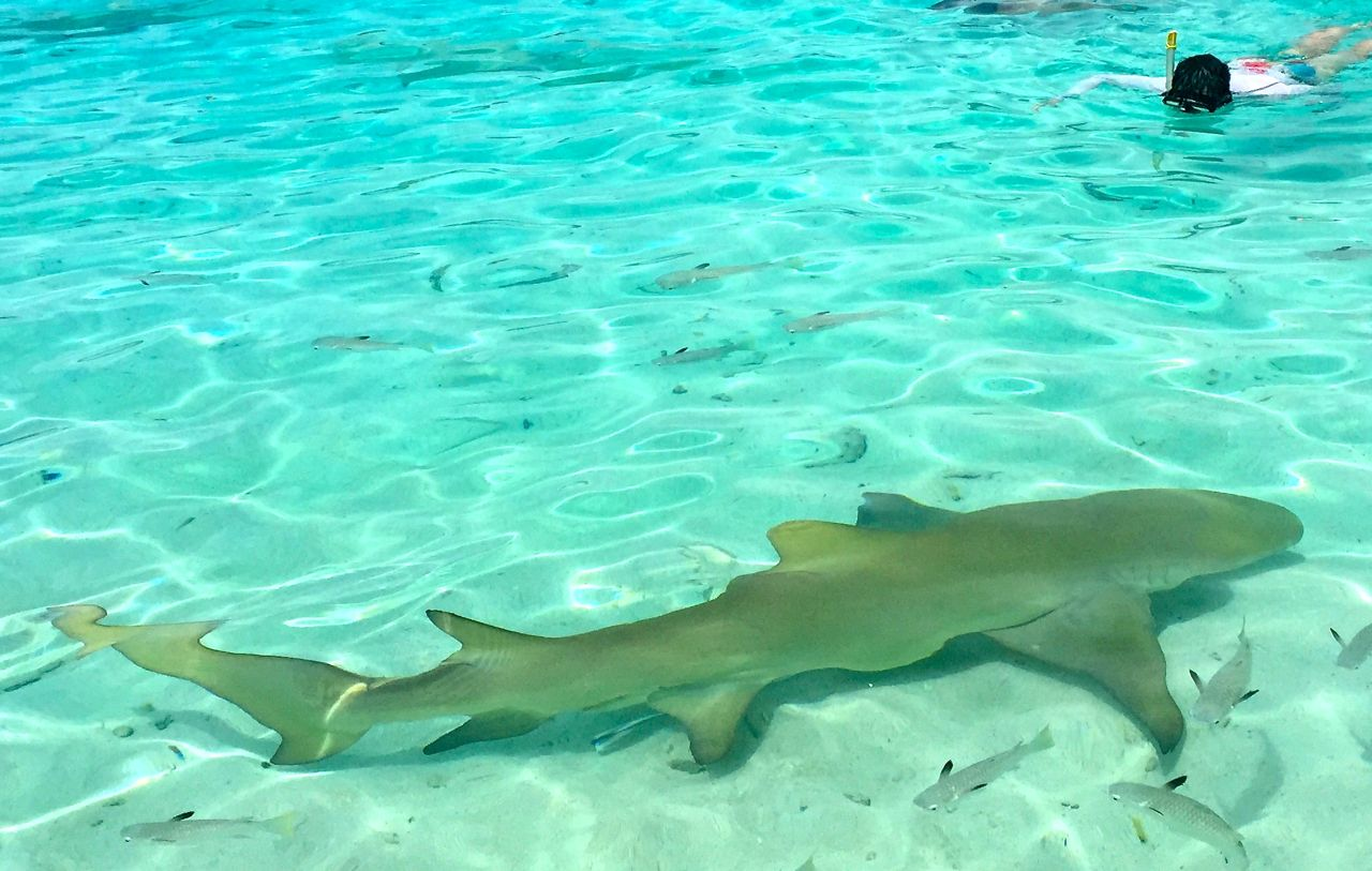 Swimming peacefully with the lemon sharks in the Lagoonarium. IRT Photo by Angela Walker