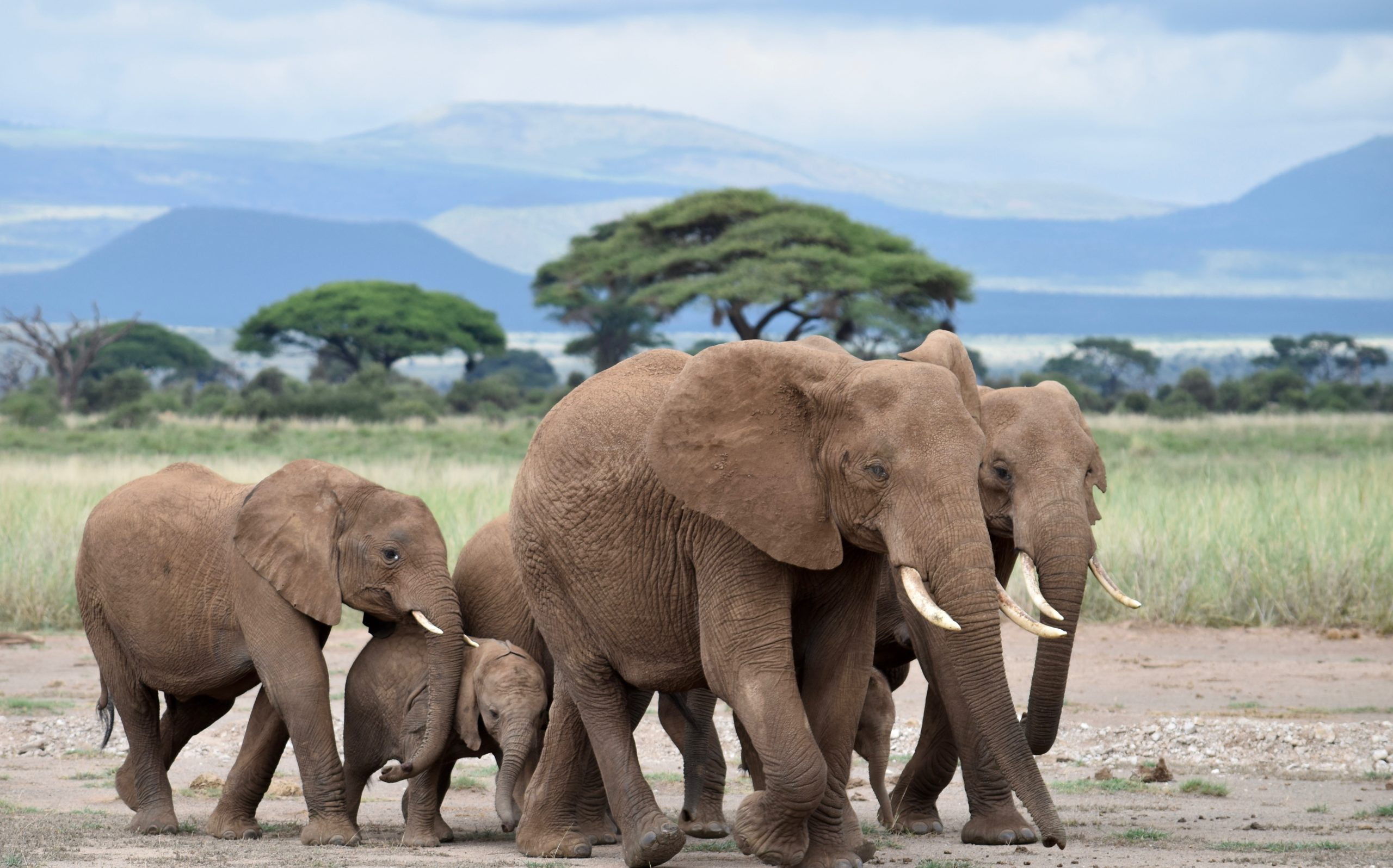 An elephant family on its daily march to the swamps in Amboseli National Park, Kenya