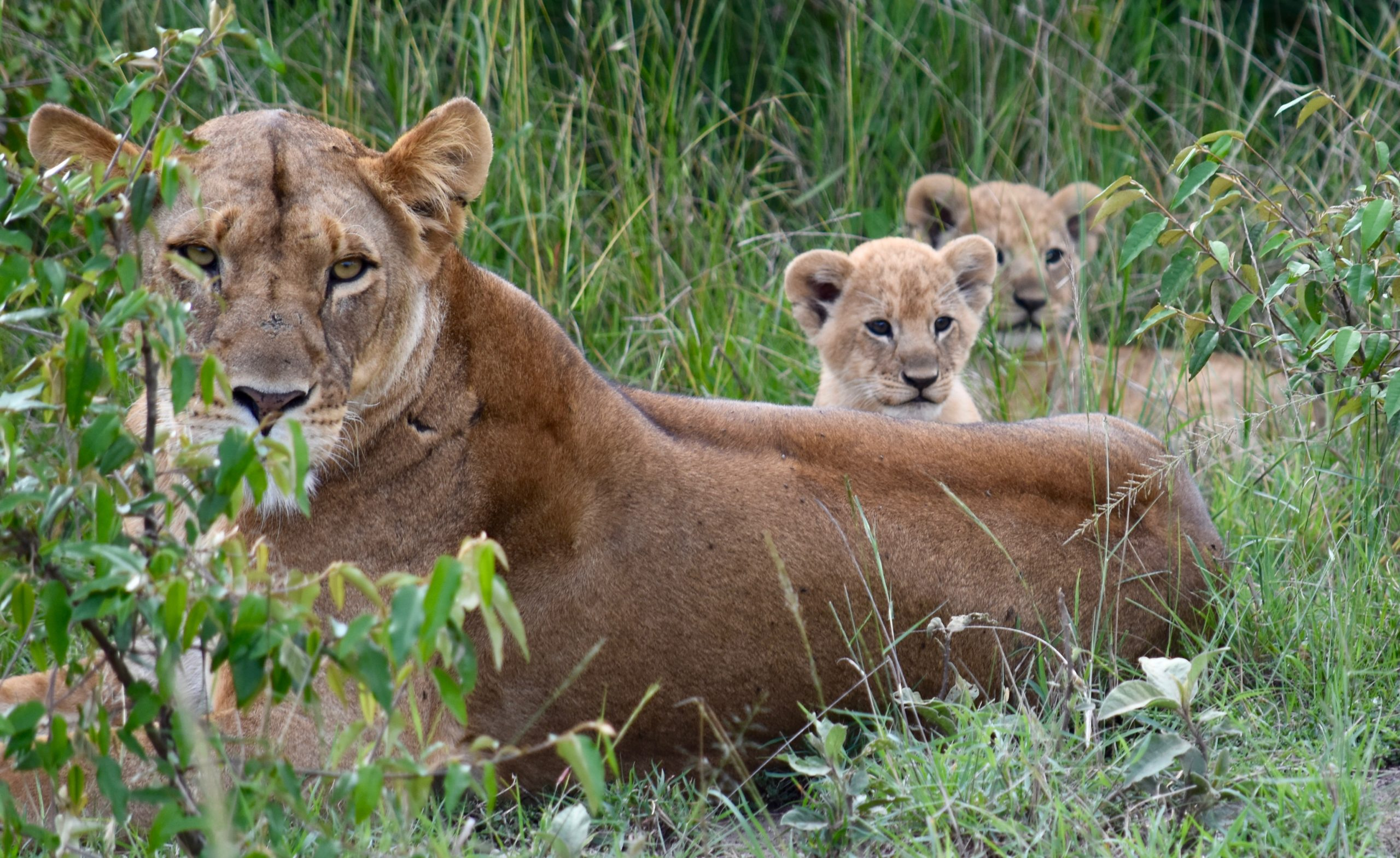 A mother and her cubs watch us with casual curiosity in the Maasai Mara National Reserve
