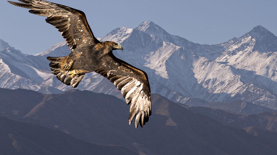 Eagle soaring above Kyrgyzstan.