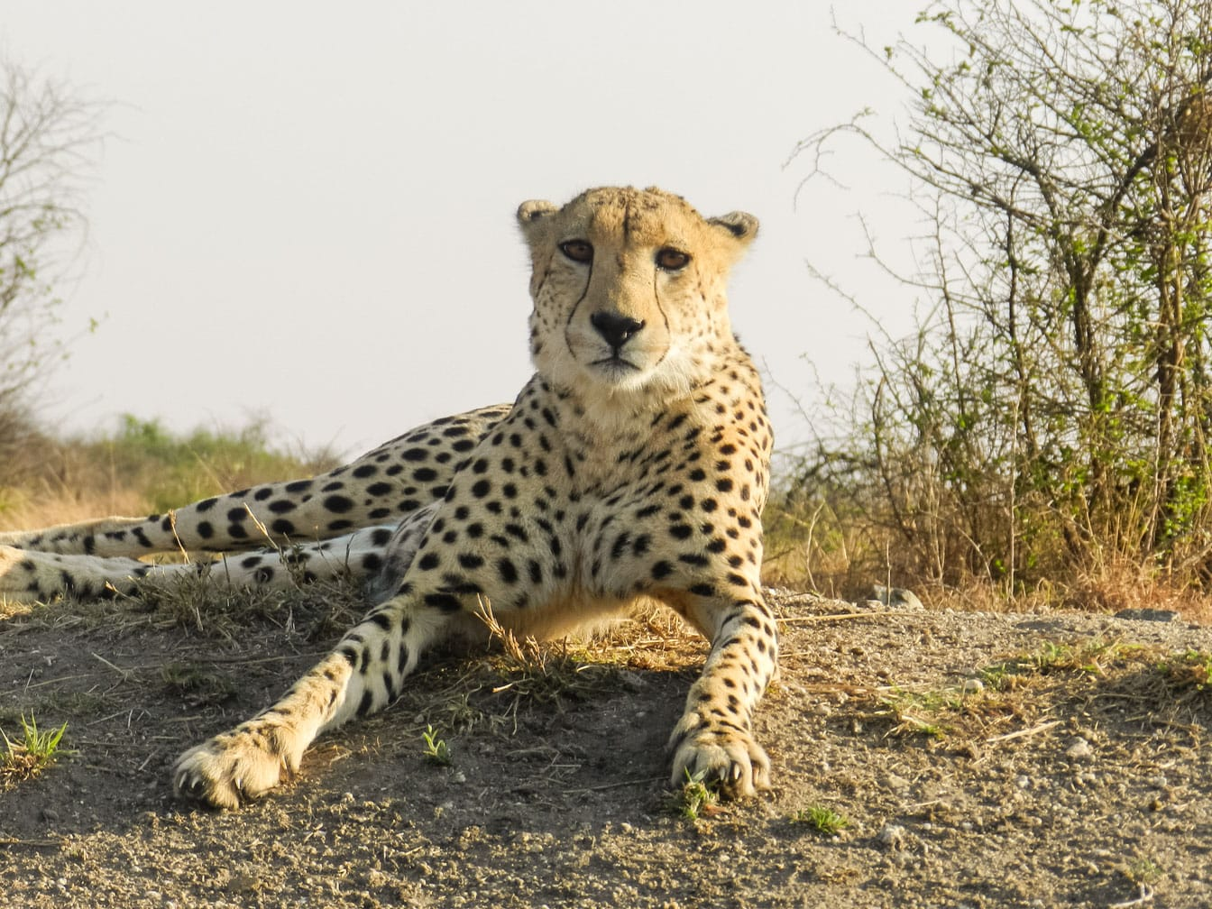 Cheetah on the Dar es Salaam to Lobito: Trail of Two Oceans journey