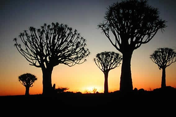 Namibia's famous quiver trees.